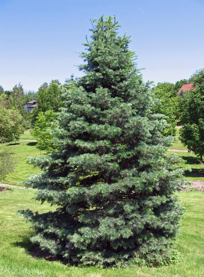 Abies Concolor White Fir For Sale