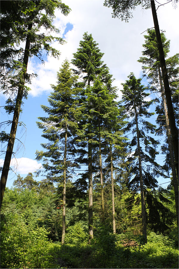 Abies Grandis Grand Or Silver Fir For Sale