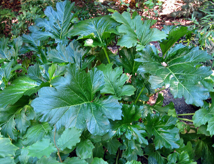 Giant leaves of Bears Breeches