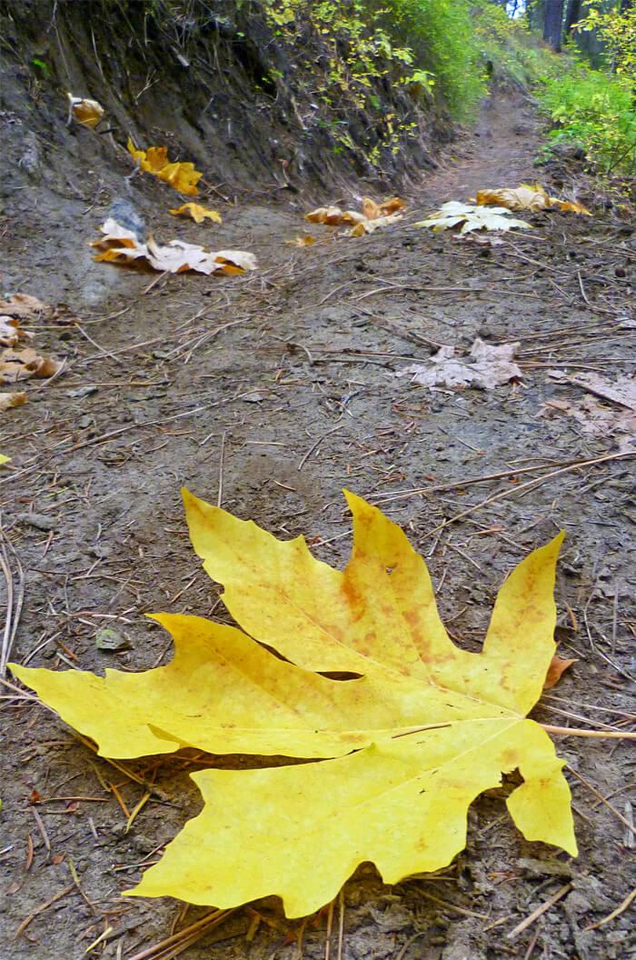 Acer Macrophyllum Big Leaf Maple For Sale