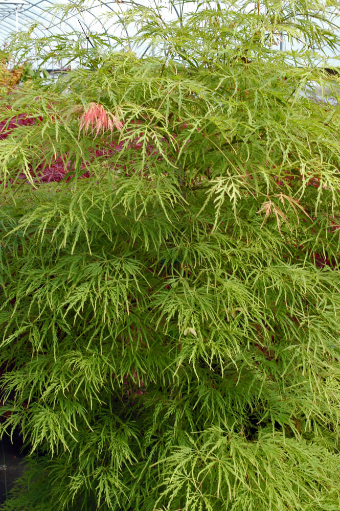 Weeping Laceleaf Japanese Maple Acer Palmatum Dissectum 2 Gallon