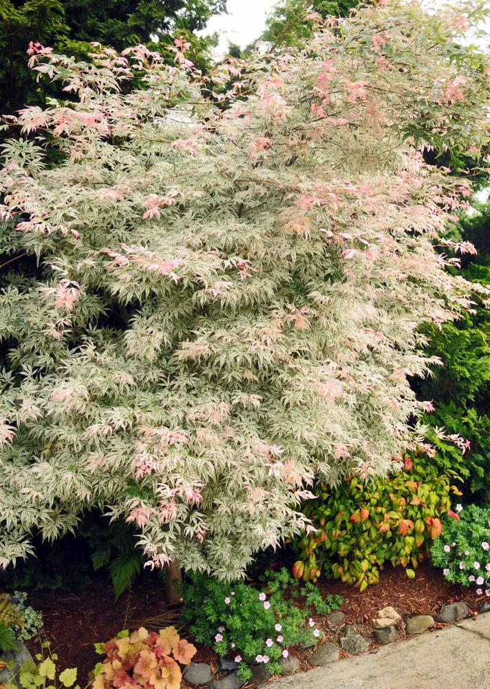 YEAR TREE FLOATING CLOUD JAPANESE MAPLE Acer palmatum Ukigumo 3