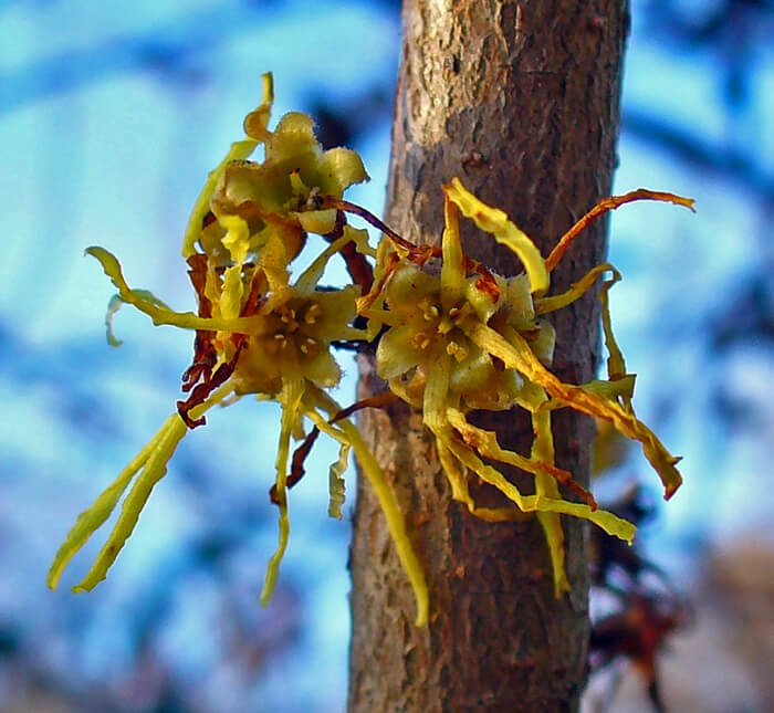 Hamamelis Virginiana American Witch Hazel For Sale