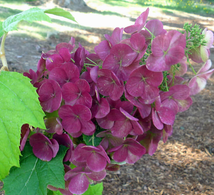 Cutting Back Oakleaf Hydrangea: How To Prune Your Hydrangeas