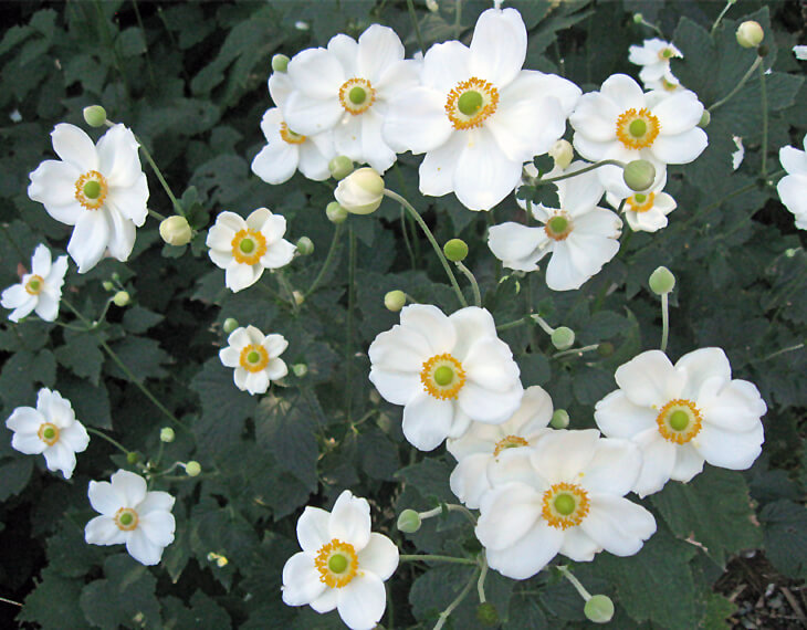 Anemone honorine jobert for sale the white flowers have yellow centers and stand on tall stems up to 6 tall mightylinksfo