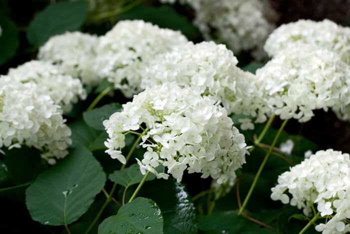 Hydrangea Arborescens Annabelle White Snowball Bush For Sale