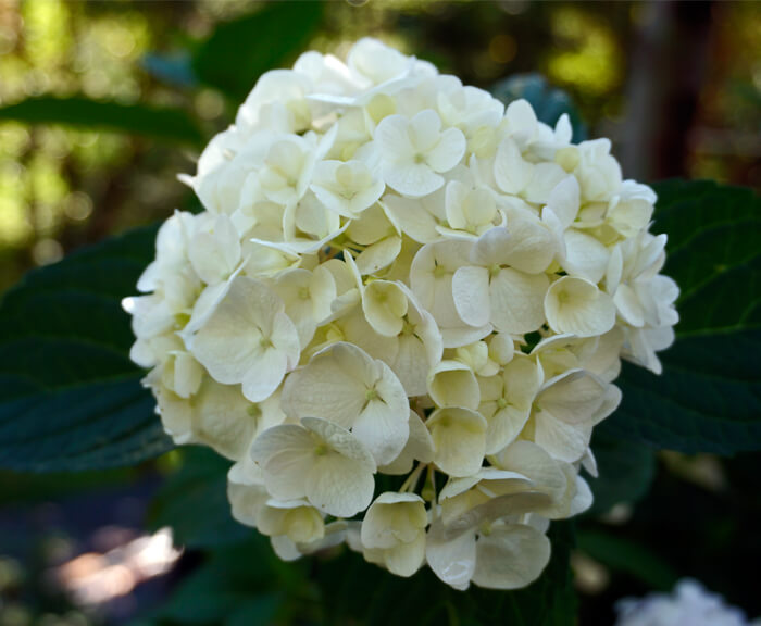 Hydrangea macrophylla bridal bouquet for sale even 3 month old cuttings start blooming even if the flowers arent very full mightylinksfo