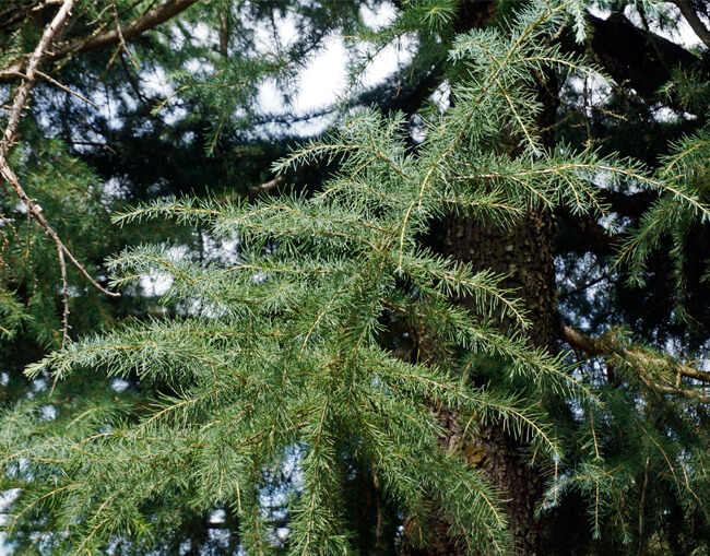 Cedrus Deodara Feelin Blue Weeping Blue Deodar Cedar For Sale