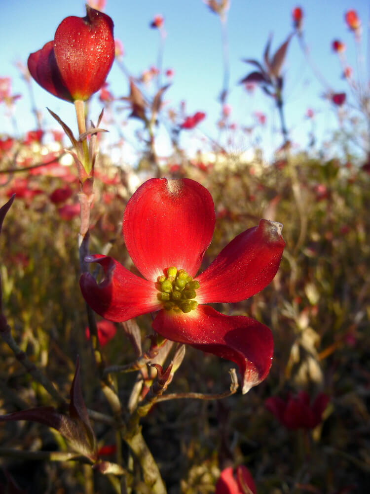 Cornus elsbry empress of china evergreen dogwood for sale cornus florida cherokee brave comco 1 pink flowering dogwood sciox Image collections