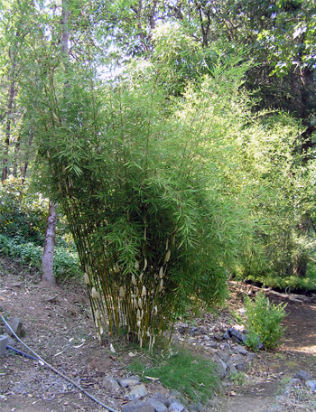 Fargesia robusta is a beautiful clumping bamboo that will not invade your yard.
