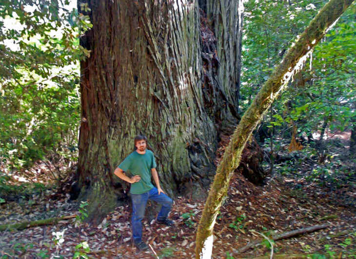 Giant trunk on a coast redwood tree