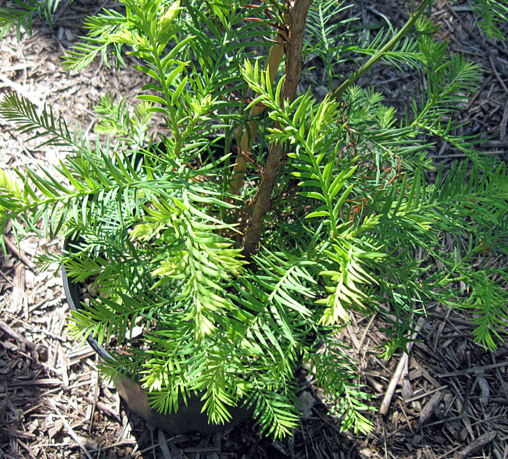 Coast redwood foliage.