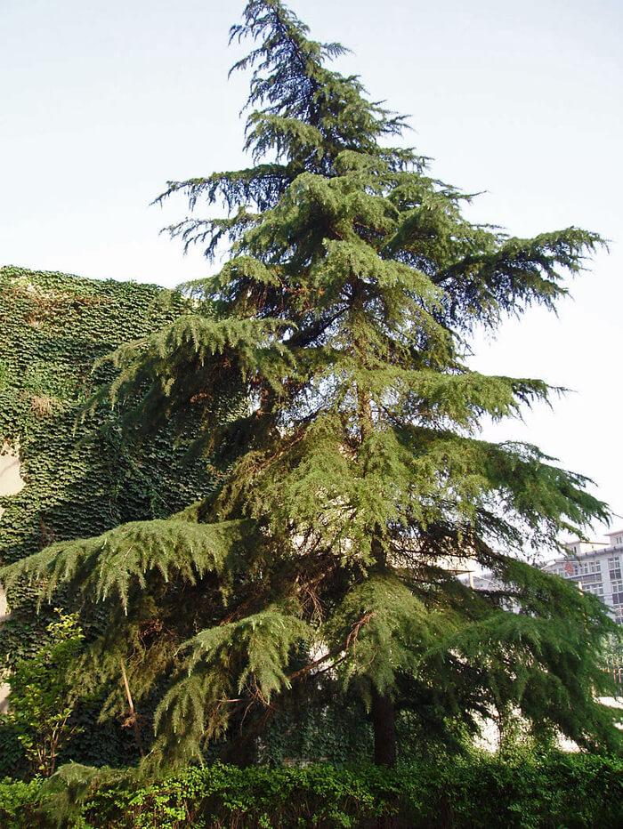 Cedrus Deodara Deodar Cedar For Sale