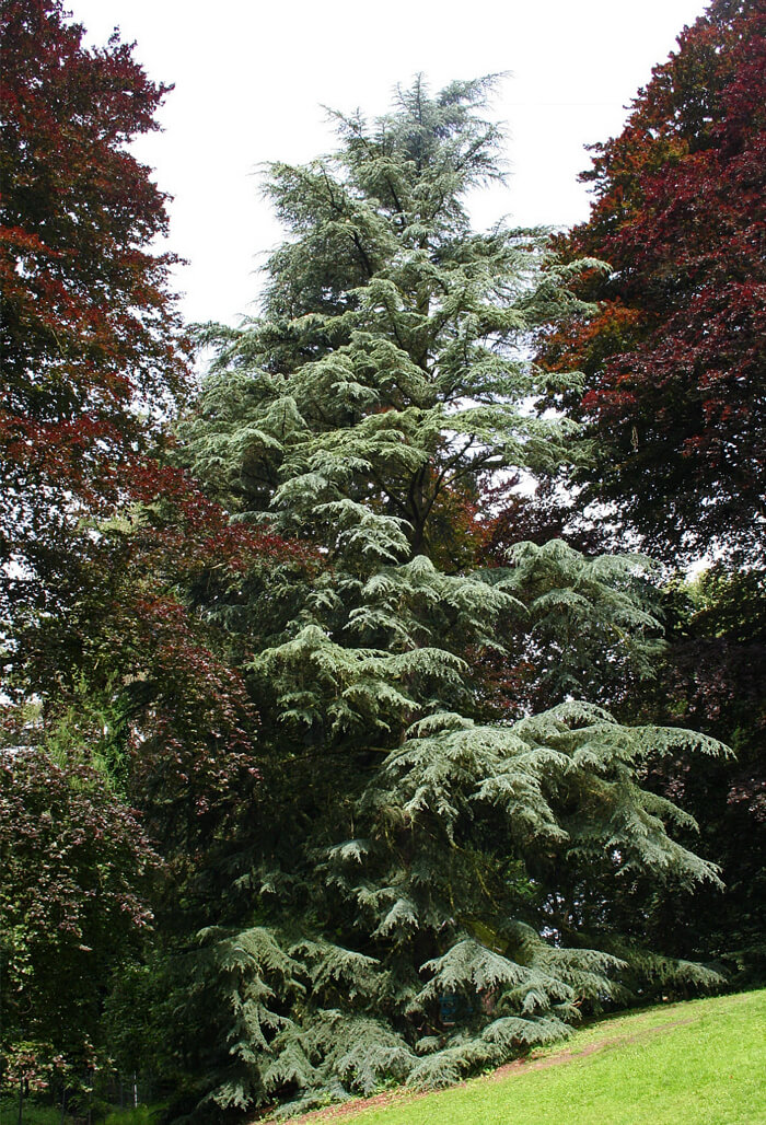Cedrus deodara deodar cedar for sale Cedar credit