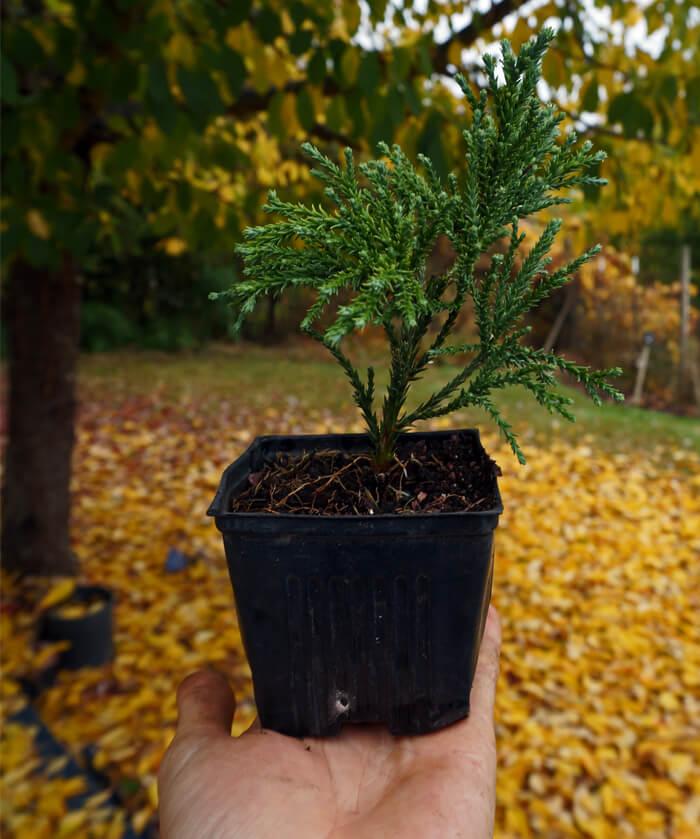 Sequoiadendron Giganteum Blauer Eichzwerg Dwarf Blue Sierra Redwood For Sale
