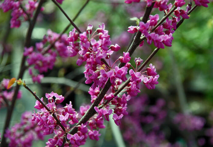 Cercis Canadensis Eastern Redbud Tree For Sale