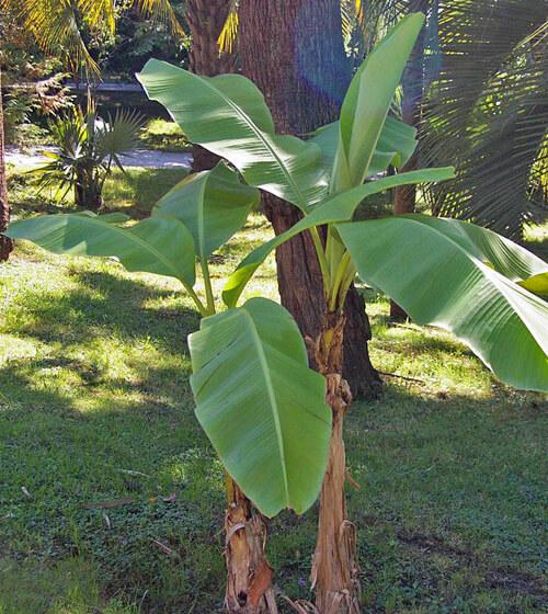 1X 6FT EXTRA LARGE MUSA BASJOO FULLY HARDY BANANA FRUIT TREE