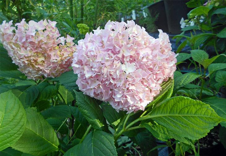 Hydrangea Macrophylla Pink Cloud For Sale