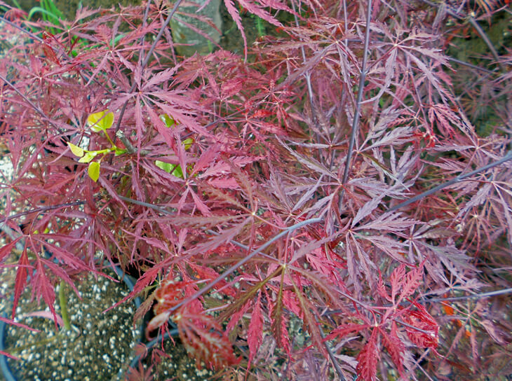 Acer Palmatum Inaba Shidare Red Laceleaf Japanese Maple For Sale