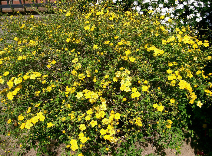 kerria japonica japanese rose for sale