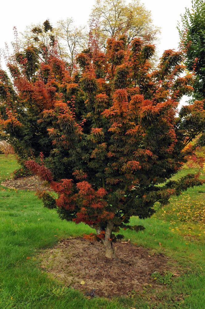 Acer Palmatum Shishigashira Lions Head Japanese Maple For Sale