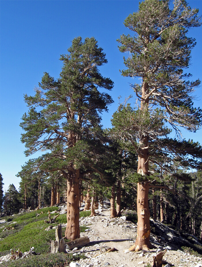 Lodgepole Pine Pinus contorta Conifer Tree Seeds 100