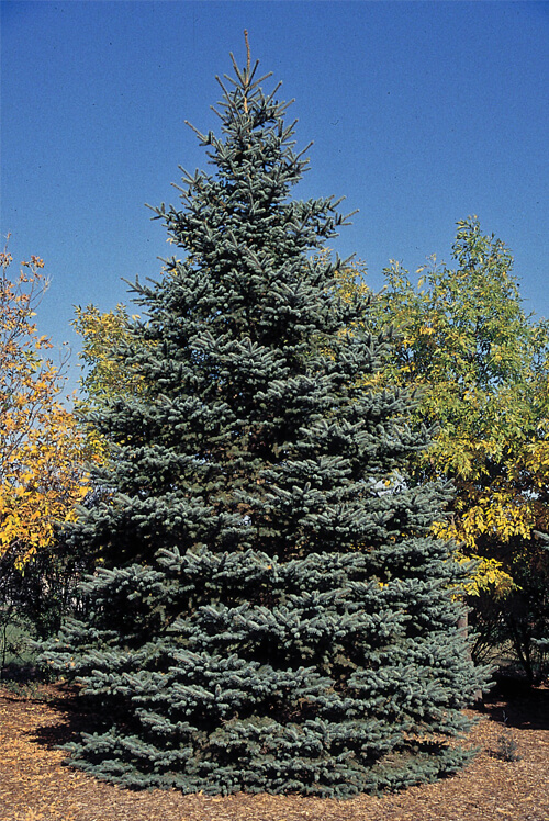 Majestic Blue Spruce Picea Pungens Glauca Majestic Seeds.