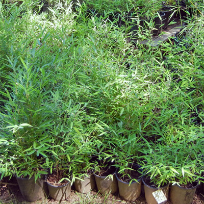 One gallon plants are cheap and easy to plant, but take longer to establish.