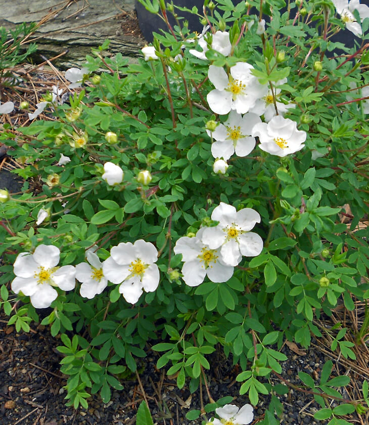 Famous potentilla white flowers gallery images for wedding gown potentilla fruticosa abbotswood white flowering cinquefoil for sale mightylinksfo
