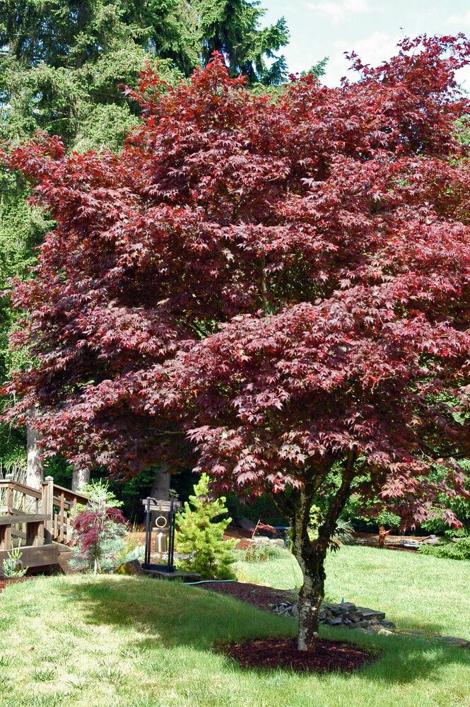 Red Japanese Maple Tree Acer Palmatum Atropurpureum 3 Gallon 30