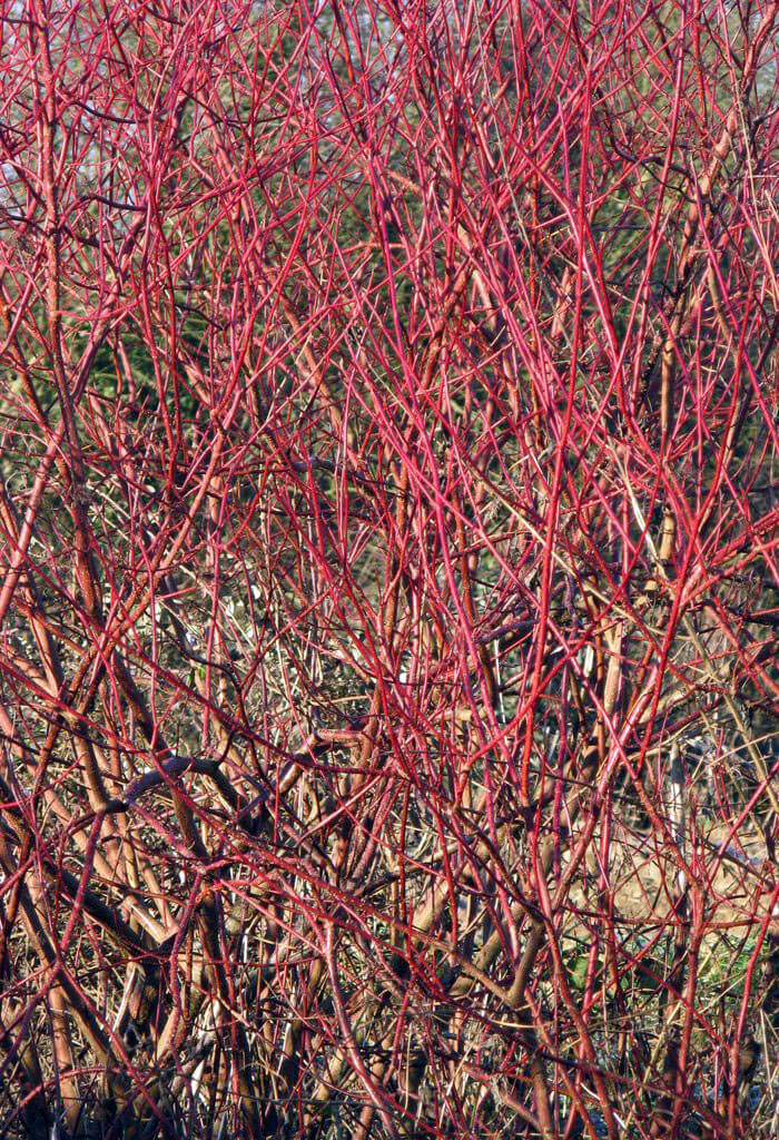 Cornus sericea 39 red 39 red twig osier dogwood for sale for Red twig dogwood