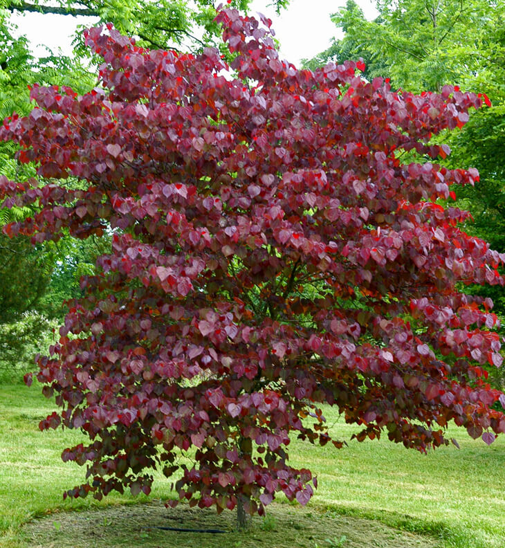 Cercis Canadensis Forest Pansy Purple Leaf Redbud For Sale