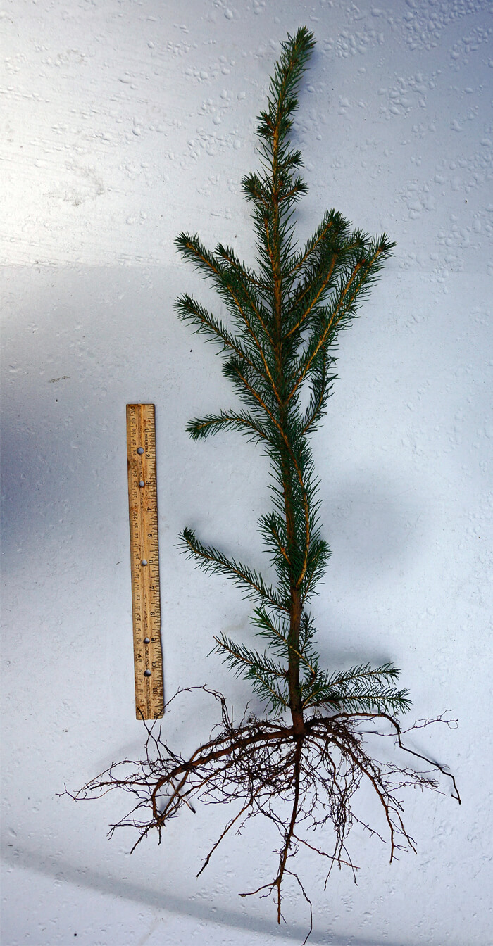 Picea Sitchensis Sitka Spruce For Sale