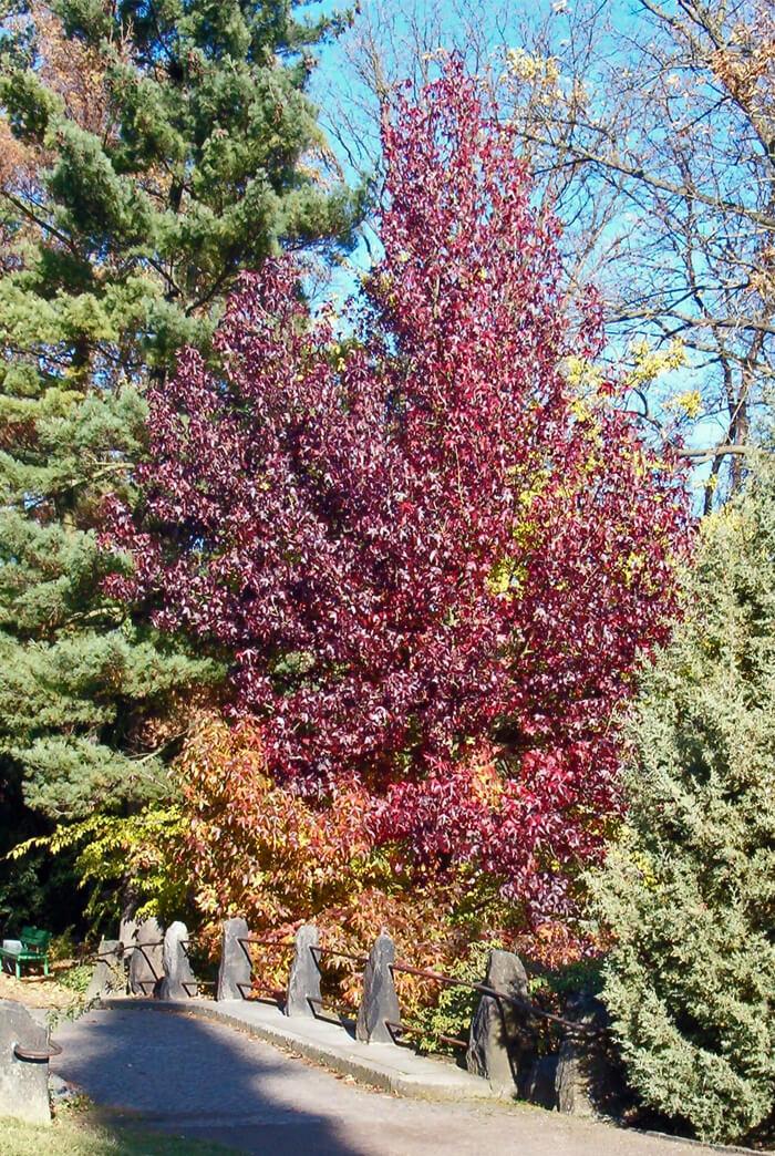 Liquidambar Styraciflua Sweet Gum Tree For Sale
