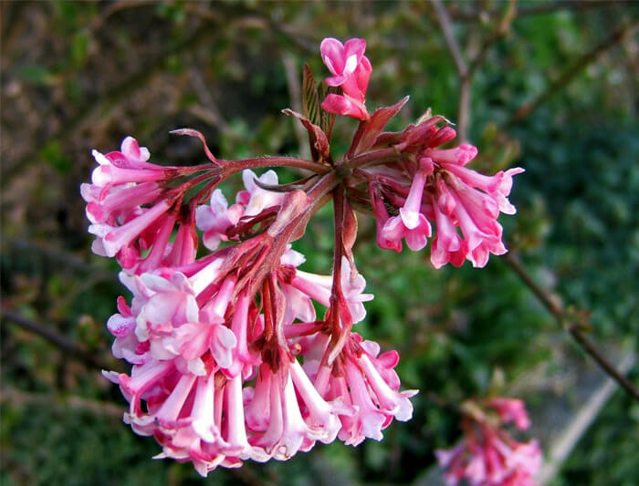 Viburnum bodnantense pink dawn fragrant viburnum for sale close up of the flowers on pink dawn viburnum mightylinksfo
