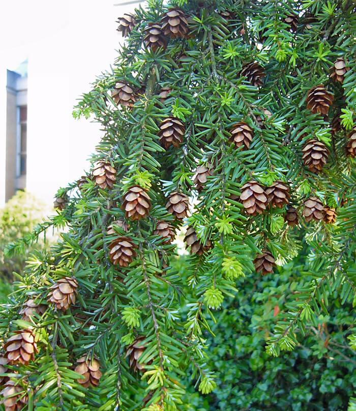 Tsuga Heterophylla Western Hemlock For Sale